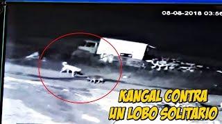 🐺Lobo Solitario contra un Kangal Encuentro Epico  Wolf vs Kangal   Lobo vs Kangal
