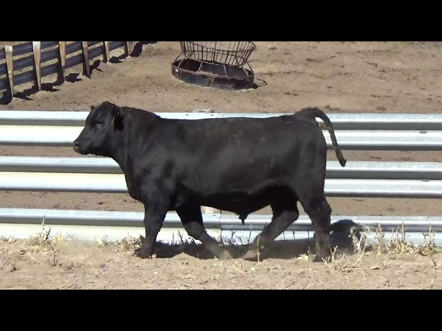 Connealy Angus Lot 156