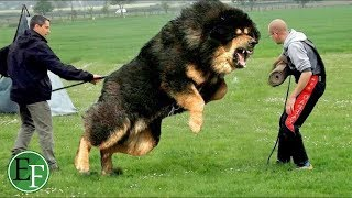 10 كلاب الأغلى والأغرب في العالم التي يمتلكها الاثرياء فقط ..!
