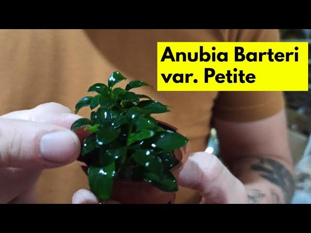 Αnubia barteri  var Petite| Ενυδρειακά φυτά 101