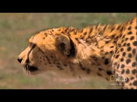 Cheetah Hunts Gazelle - whats your Target / Aim ?