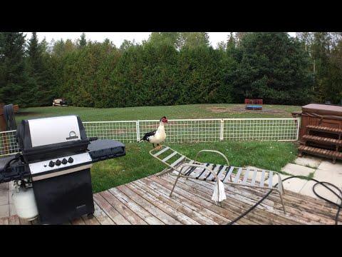 Wednesday Morning Duck Rush to MaGoose Lagoon
