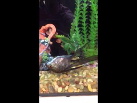 Angelfish Swimming Upsidedown