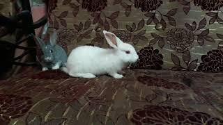 Rabbit love couple