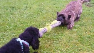 Cairn Terrier versus Poodle Dogfight