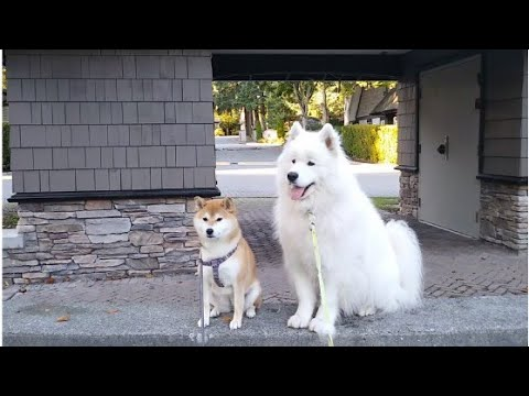 The happy story between your dog and his 'girl' friend | Senba the Samoyed likes his friend Hatchi