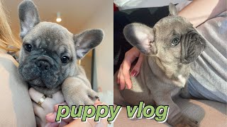 PUPPY VLOG: surprise, i got a frenchie + mini puppy q&a | maddie cidlik