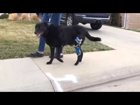 Walking With Posh Dog Knee Brace