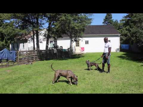 Dog Aggressive Pitbull Video Testimonial | Majors Academy Dog Training and Rehabilitation