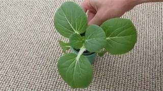 Капуста Пак-чой (Бок-чой) - мій досвід вирощування