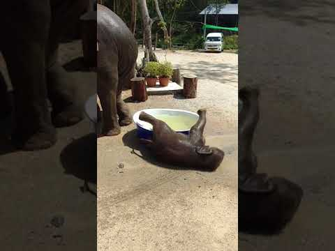 Baby elephant pulls a turtle move!