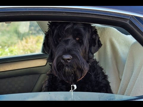 Black Russian Terrier Introduction
