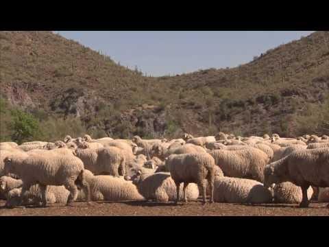 Sheep Special - America's Heartland: Episode 911