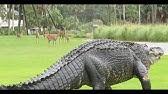 Giant Gator Walks Across Florida Golf Course Golf Com Youtube