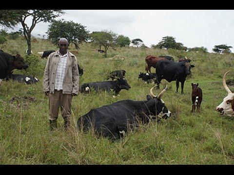 Milk dilemma in Uganda