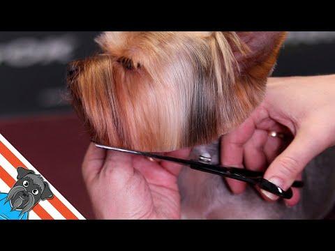 Yorkshire terrier haircut - Beautiful and comfortable short haircut