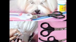 GROOMING NAILS:  Dolce Paw Spaw:   How to Trim Nails on Pet Maltese  Dog Nail Trimming Tutorial