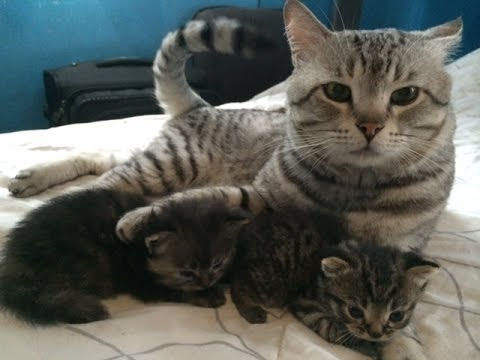 American Shorthair Kittens Playing with Father by HourPhilippines.com