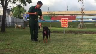 Rottweiler cắn nhả theo hiệu lệnh của huấn luyện viên - Trung tâm huấn luyện chó Sài Gòn Dog