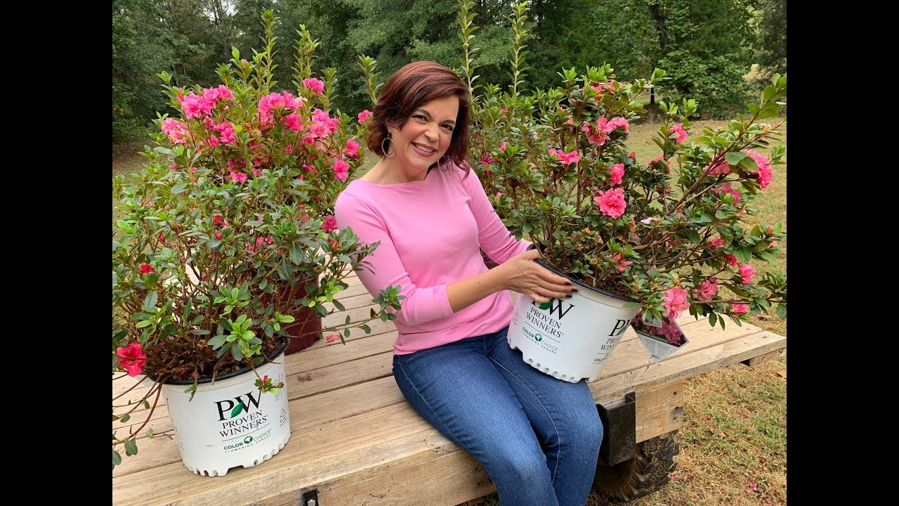 Download Not your Grandmama's Azaleas - Meet Re-Blooming Azaleas!