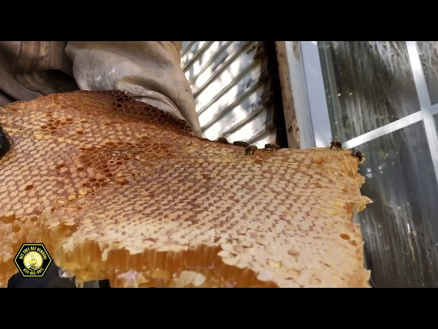 Bee Removal- Expert beekeeper removes hive from inside wall