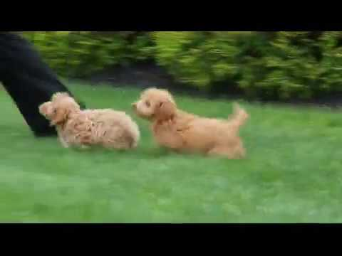 Mini Poodle Mix Puppies For Sale Youtube