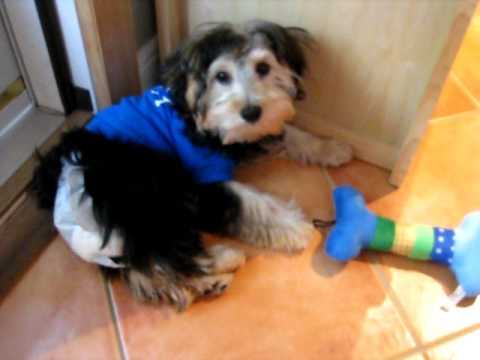 Oliver 4 Month Old Yorkie Poo Youtube