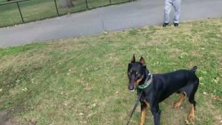 Doberman Pinscher Ace chasing squirrels in Juniper Valley Park