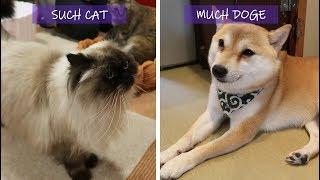 Mame Shiba Inu Cafe + Cat Cafe in Tokyo   Japan Travel Vlog 7