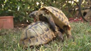 sesso, sex, 69, sport,  sumo: le due tartarughe Turtle pair match up heat