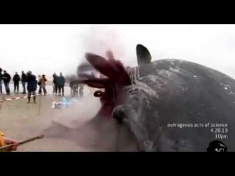 Dead Whale Explosion on Dutch Beach