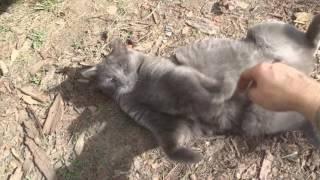 Russian Blue Cat aт Play