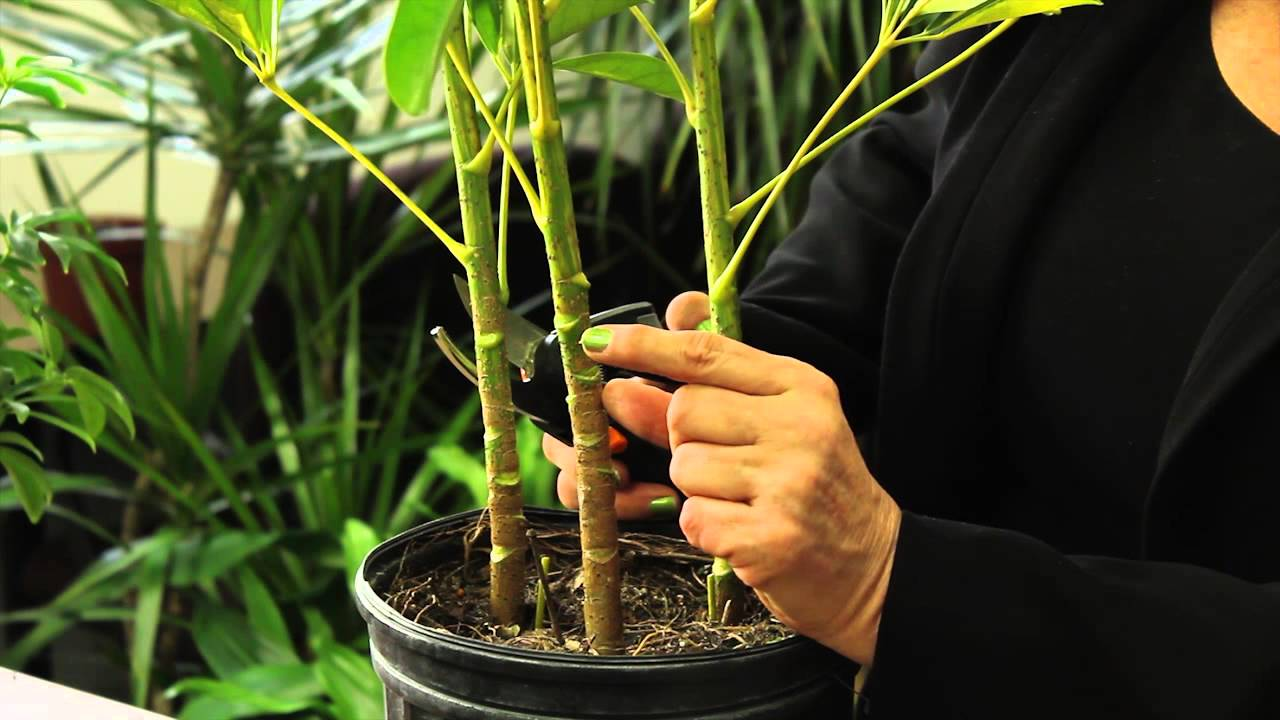 How to prune a schefflera plant gardening plant care for House plant maintenance