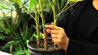 how to prune a schefflera plant gardening plant care