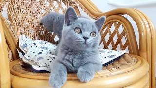 Британские котята, Zeus TinArden*RU, голубой кот.
