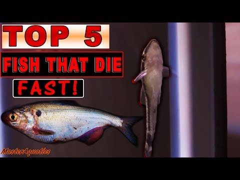TOP 5 AQUARIUM FISH THAT DIE VERY EASILY!