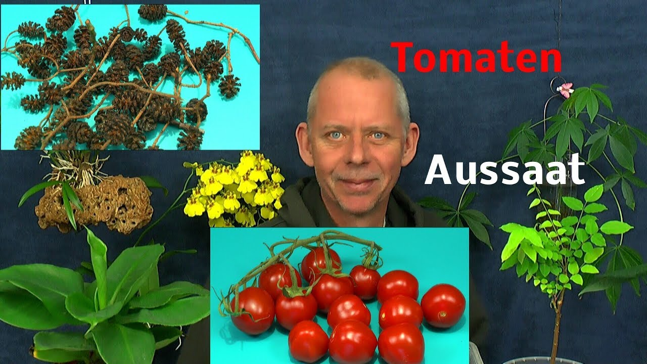 tomaten aussaat aus einer frucht erlen zapfen senken den ph wert youtube. Black Bedroom Furniture Sets. Home Design Ideas