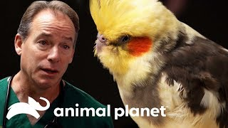 Una cacatúa con problemas respiratorios | Dr. Jeff, Veterinario | Animal Planet