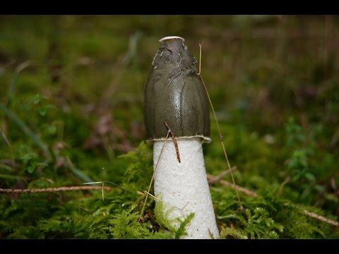 03 | Pilze des Waldes: Die Stinkmorchel