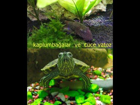 Su Kaplumbağasıyla Vatozun KARŞILAŞMASI!balıkla Kaplumbağa Yaşarmıı