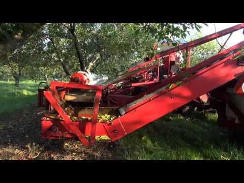 Sour Cherry Harvest 2014