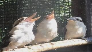 Kookaburra Hears a Great Joke