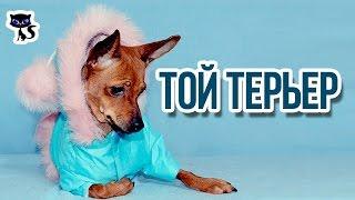 Той терьеры / Интересные факты о собаках