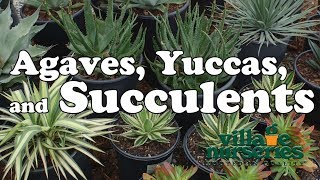 Agaves, Yuccas, and Succulents - Village Nurseries