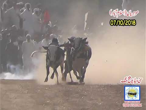 Bul Race In Pakistan Sunny Video Fateh Jang 07 10 2018 No7