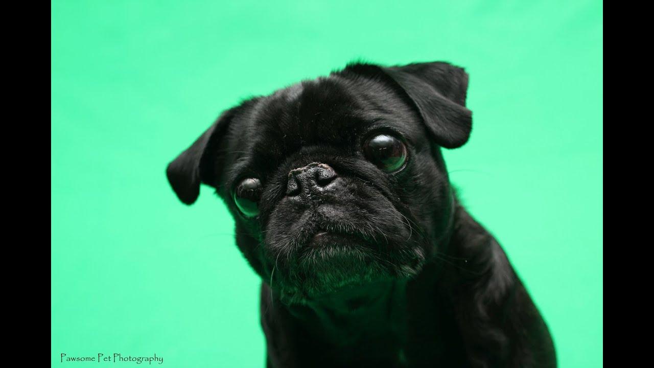 Pug Like Dog Breeds