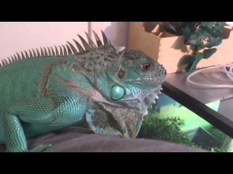 Caymans Imperiled Blue Iguanas On The Rebound