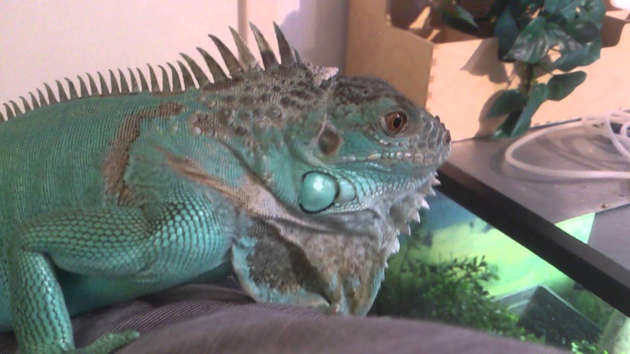 Blue Iguana Update