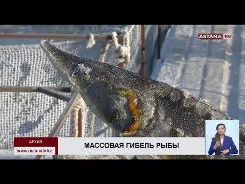 Объем погибшей в реке Урал рыбы превысил  4 тонны