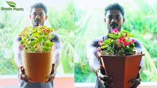 Begonia Propagation & Repotting Method | How to Grow Wax Begonia & Tuberous Begonias//GREEN PLANTS